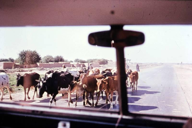 bus, Kühe, kuhherde