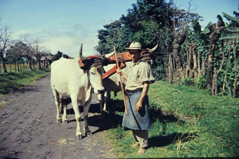 Bauer, Kuba, Ochse