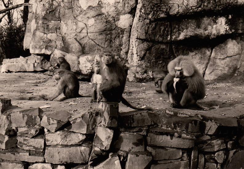 affe, köln, Kölner Zoo, Pavian, Zoo