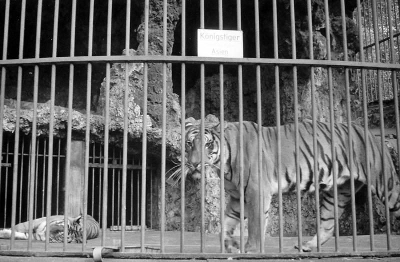 asien, gehege, köln, königstiger, Streifen, Tiger, Zoo, Zoologischer Garten, Zootier