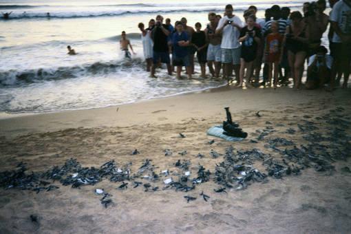 Schildkrötenschlüpfen