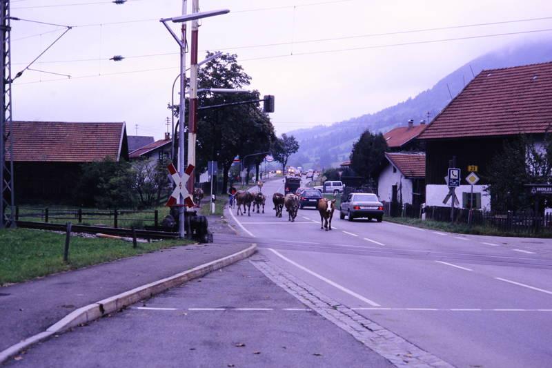 Almabtrieb, auto, Bahnübergang, KFZ, Kuh, mercedes-w124, PKW, Schranke, straße