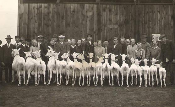 Wettbewerb der Ziegen