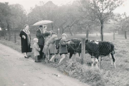 Kühe streicheln