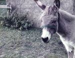 Gustav der Esel