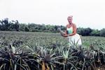 Auf dem Ananasfeld