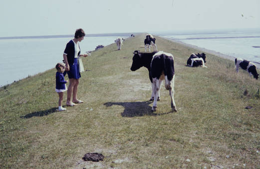 Kühe am Meer