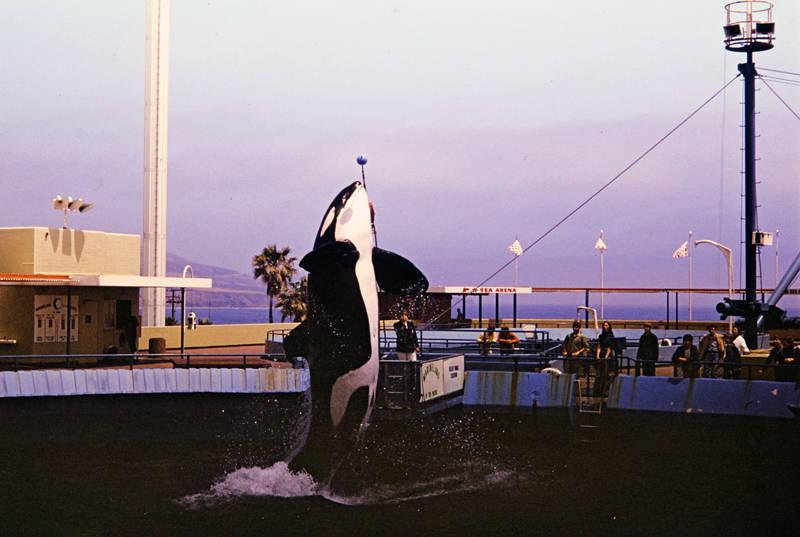 Marineland, Marineland of the Pacific, Orca, Orcawal, pool, Schwertwal, Schwimmbecken, springen