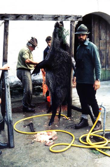 aufhängen, ausnehmen, blut, jagd, schlauch, wild, wildschwein