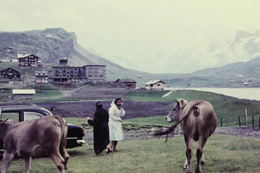 Zwischen Rindern