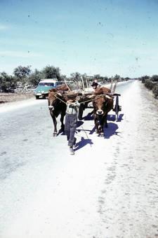 Kind zieht Ochsenfuhrwerk