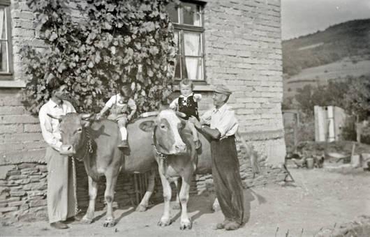 Kühe reiten
