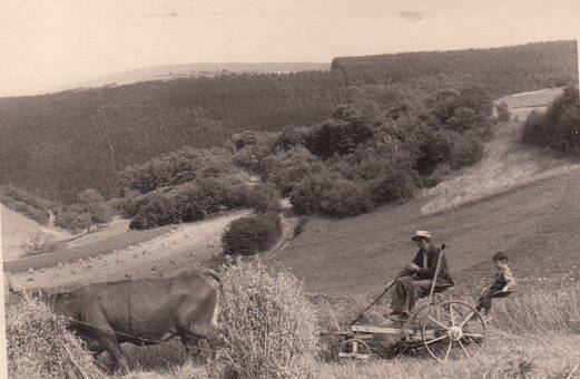 Feldarbeit mit Kuh