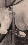 Eine Kuh macht Muh!