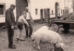 Hilfe mit den Schweinen