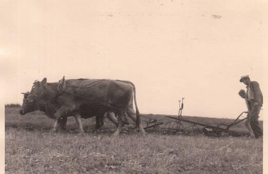Feldarbeit mit Kühen