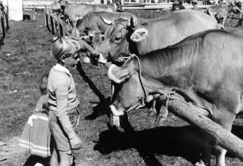 Vor den Rindern