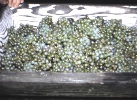 Traubenlese und Weinkeller